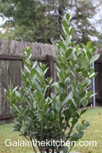 Bay leaves tree 3 Photo