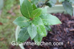 Bay leaves tree Photo