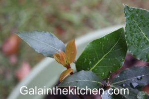Bay leaves tree 1 Photo